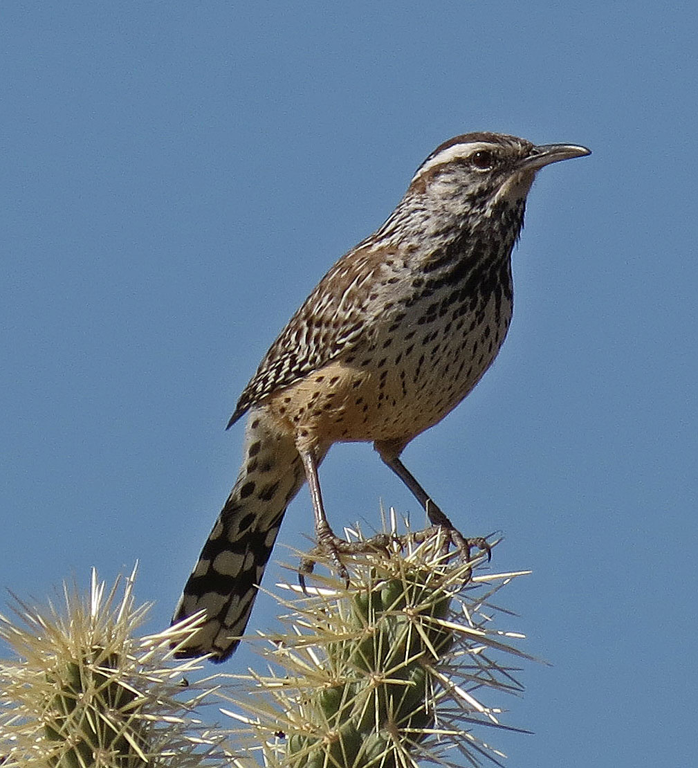 Southern Arizona Birds In January Usery Mountain Park Wildalongtheway