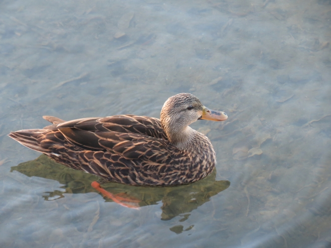 Mottled Duck, female