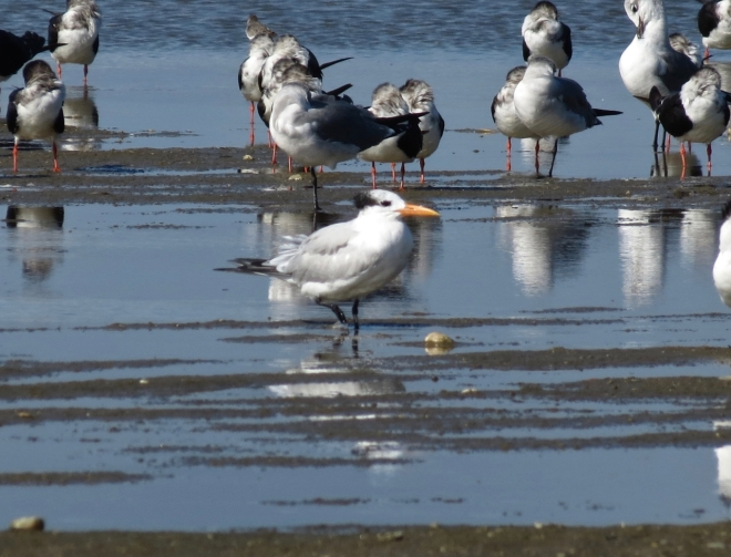Royal Tern in foreground. Black Skimmers and Laughing Gulls