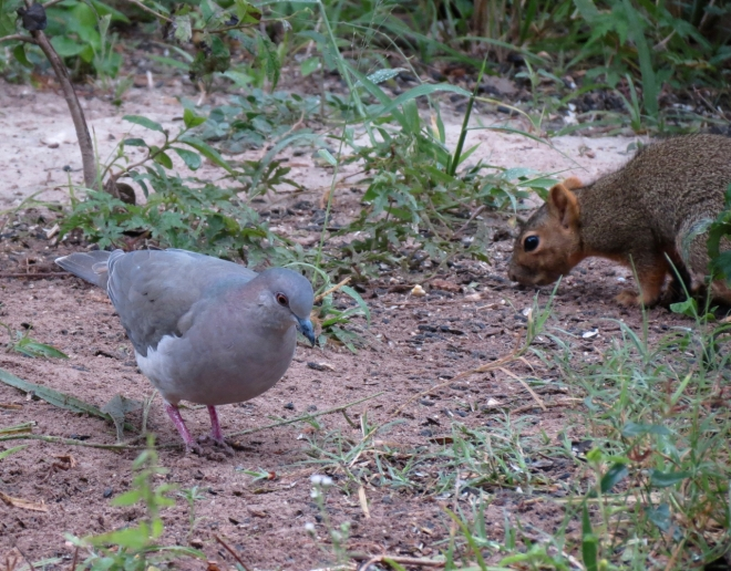White-tipped Dove and Eastern Fox Squirrel