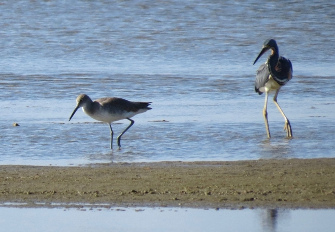 Willet and Tricolored Heron