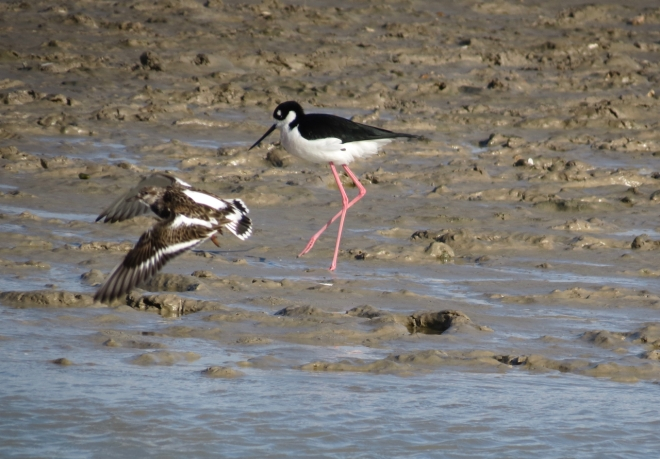 Black-necked Stilt & Ruddy Turnstone