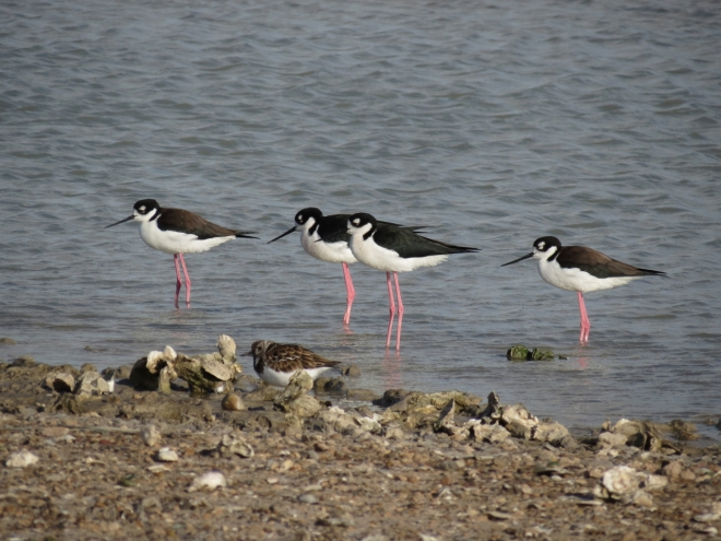 Black-necked Stilts & Ruddy Turnstone