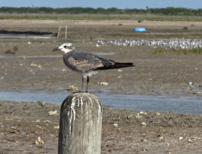 Laughing Gull juvenile