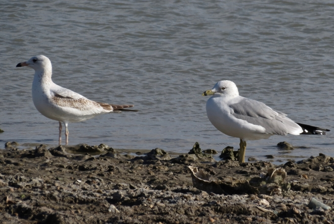 Ring-billed Gull adult & Juvenile
